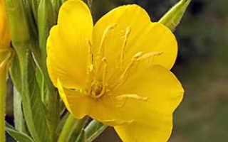 Энотера многолетняя: посадка и уход в открытом грунте, выращивание и сочетание в ландшафтном дизайне, фото, размножение сорта