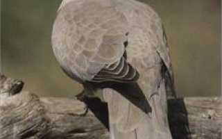 Горлица – фото птицы, описание кольчатой и обыкновенной горлицы